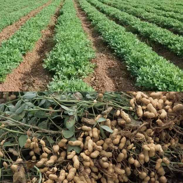 Photo of Groundnut Farming In Nigeria | Complete Guide For Starters